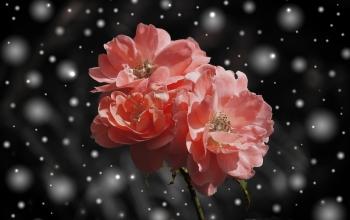 rose-572757