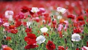 Rosa's Poppies